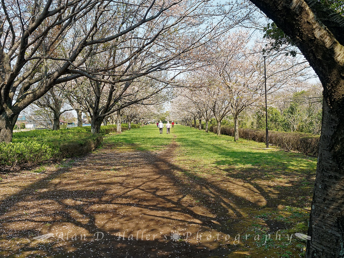 北五井緑道の遊歩道の画像1